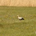 Fotografie ptaków - Bocian