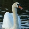 Fotografie ptaków - Łabędzie