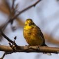 Fotografie ptaków - Trznadel